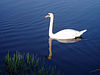 Swan on the Lancaster Canal in Holme - geograph.org.uk - 152600.jpg