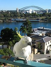 A cockatoo is perched on a city balcony several floors above the ground. A suburban landscape is in the background.