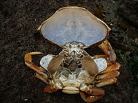 Crab molt with carapace lifted, exposing gills.