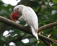 A mainly white cockatoo with a few pale-pink feathers on its face. The cockatoo is perched on a branch in a tree standing on its right foot while holding what appears to be a rambutan fruit up to its open beak with its left foot