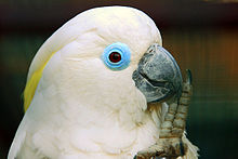 The upper body of a mainly white cockatoo that has raised its left leg to its black beak. Pale-yellow crest feathers are just seen under the more prominent white crest feathers. It has a wide circular rim of featherless blue skin around its eyes. Its irises are brown.