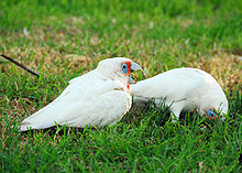 Two mainly white-plumaged cockatoos on what appears to be a lawn. One cockatoo is standing upright and has a long upper mandible, and orange-pink feathers its face and chest. The other cockatoo has its head in the grass with its bill not visible.