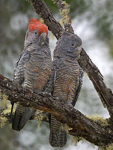 Two grey cockatoos on a lichen-covered tree branch. The red crested male is on the left.