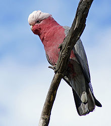 Cockatoo perching on a branch. Its plumage on the top of its head above its eyes is white and it has a horn-coloured beak. The rest of its head, its neck, and most of its front are pink. Its wings and tail are grey.