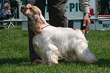 A mostly white colored dog with long hair and a yellow-orange colored face. A person is holding its head and tail into the correct position for showing at a dog conformation show