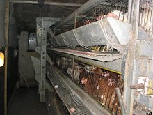 Chickens in cramped conditions