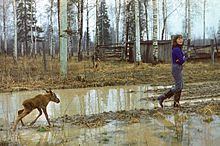 A young woman in rubber boots is walking through a muddy clearing in a wood at Kostroma Moose Farm followed by a very young moose, struggling to keep up