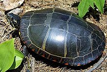 A full overhead shot of an eastern painted turtle