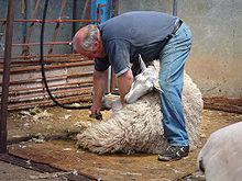 A man using a device to shear a sheep