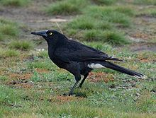 a sooty black crow-like bird stands on grass.