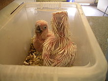 Two pink-skinned chicks sparsely covered with incompletely formed whitish feathers standing in a plastic bowl. The pre-feathers are round and pointed and are pinkish towards the base fading to white at the tips