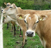 Several light brown cows