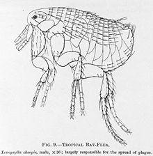 Xenopsylla Cheopis Life Cycle Oriental rat fl...