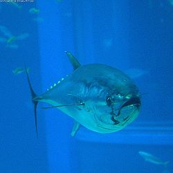 Photo of bluefin