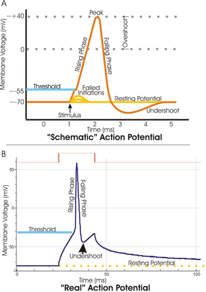 Two plots of the membrane potential (measured in mV) versus time (ms). Top: idealized plot where the membrane potential starts out at - 70 mV at time zero.  A stimulus is applied at time = 1 ms, which raises the membrane potential above -55 mV (the threshold potential).  After the stimulus is applied, the membrane potential rapidly rises to a peak potential of + 40 mV at time = 2 ms.  Just as quickly, the potential then drops and overshoots to -90 mV at time = 3 ms and finally the resting potential of -70 mV is reestablished at time = 5 ms. Bottom: a plot of an experimentally determined action potential that is very similar in appearance to the idealized plot except that the peak is much sharper and the initial drop is to -50 mV increasing to -30 mV before dropping back to the resting potential of -70 mV.