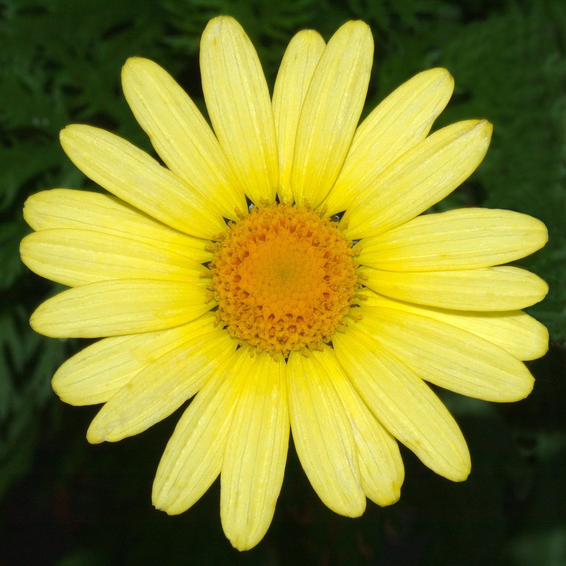 Blooming daisies rus tfile.ru