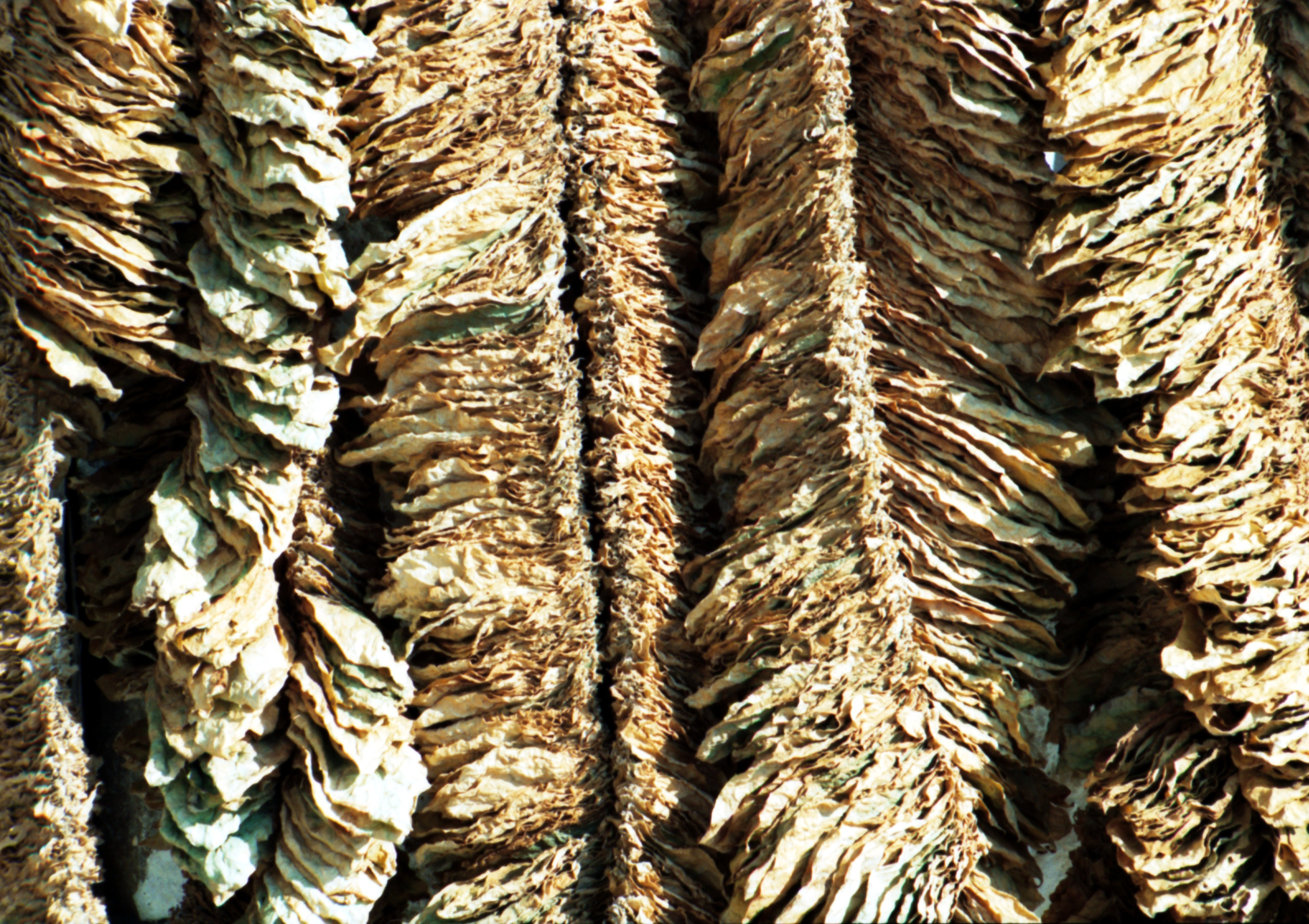 tobacco cultivation in pakistan © pakistan tobacco company 1  tobacco cultivation and purchasing)  ministry of environment and the pakistan forestry institute,.