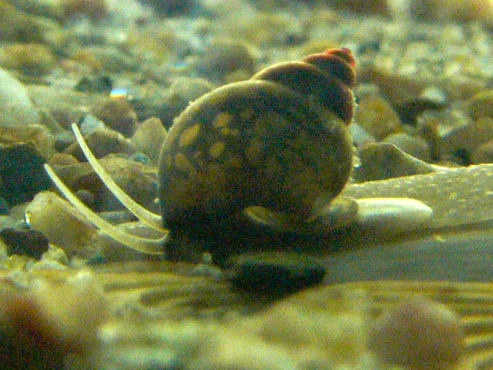 Bithynia_tentaculata.jpg