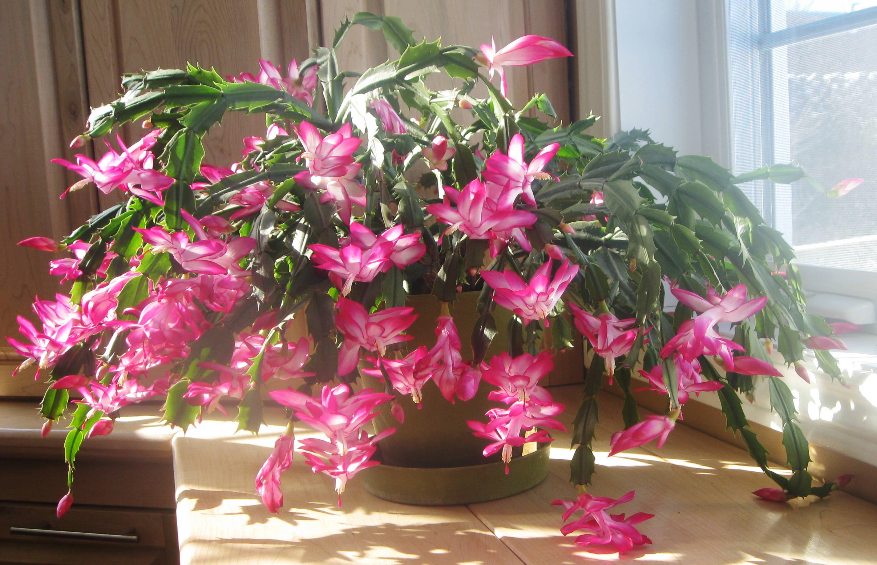 Цветущие комнатные растения фото и названия Комнатные 93
