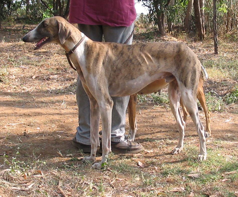 mudhol hound caravan hound other names mudhol dog caravan hound ...