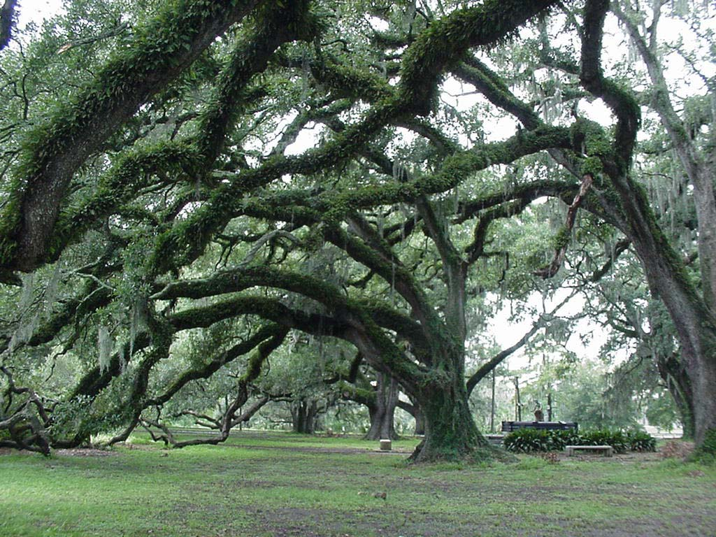 Centuries-old live oak trees, located near city park avenue in the