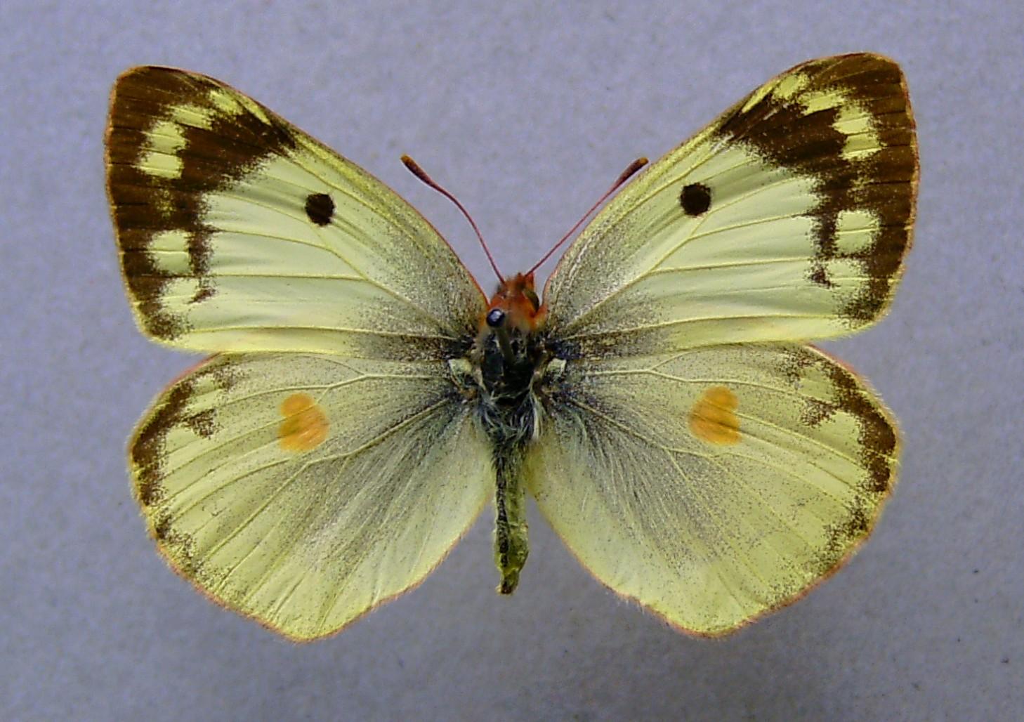 Желтушка луговая фото 8