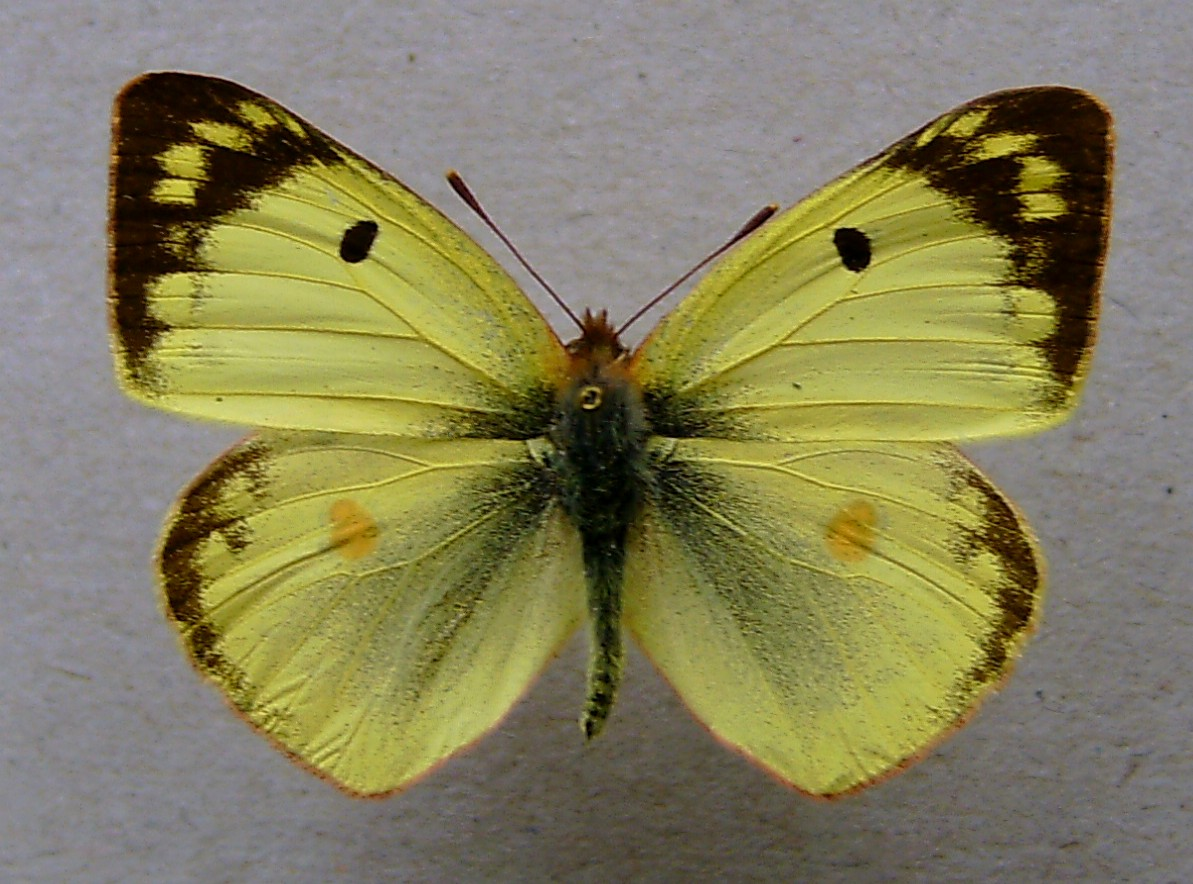 Желтушка луговая фото 2
