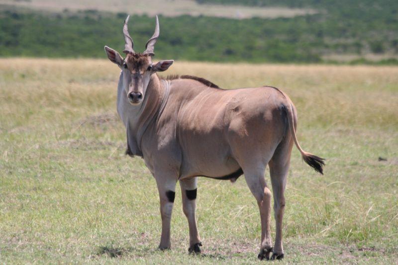 It seems that eland bulls