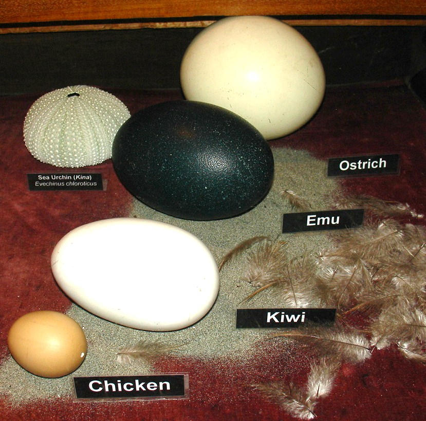 biology ruddy duck and egg cell Biologist's note  the wild turkey's eyesight is six times more powerful than that  of a human  ruddy ducks are one of the smallest ducks found in the  are  small, they lay some of the largest eggs of any duck in the world.