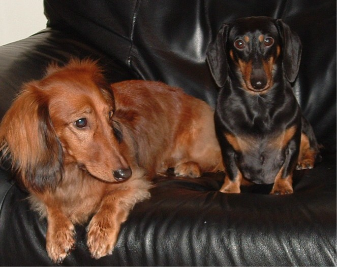 long haired dachshund left and miniature smooth haired dachshund right