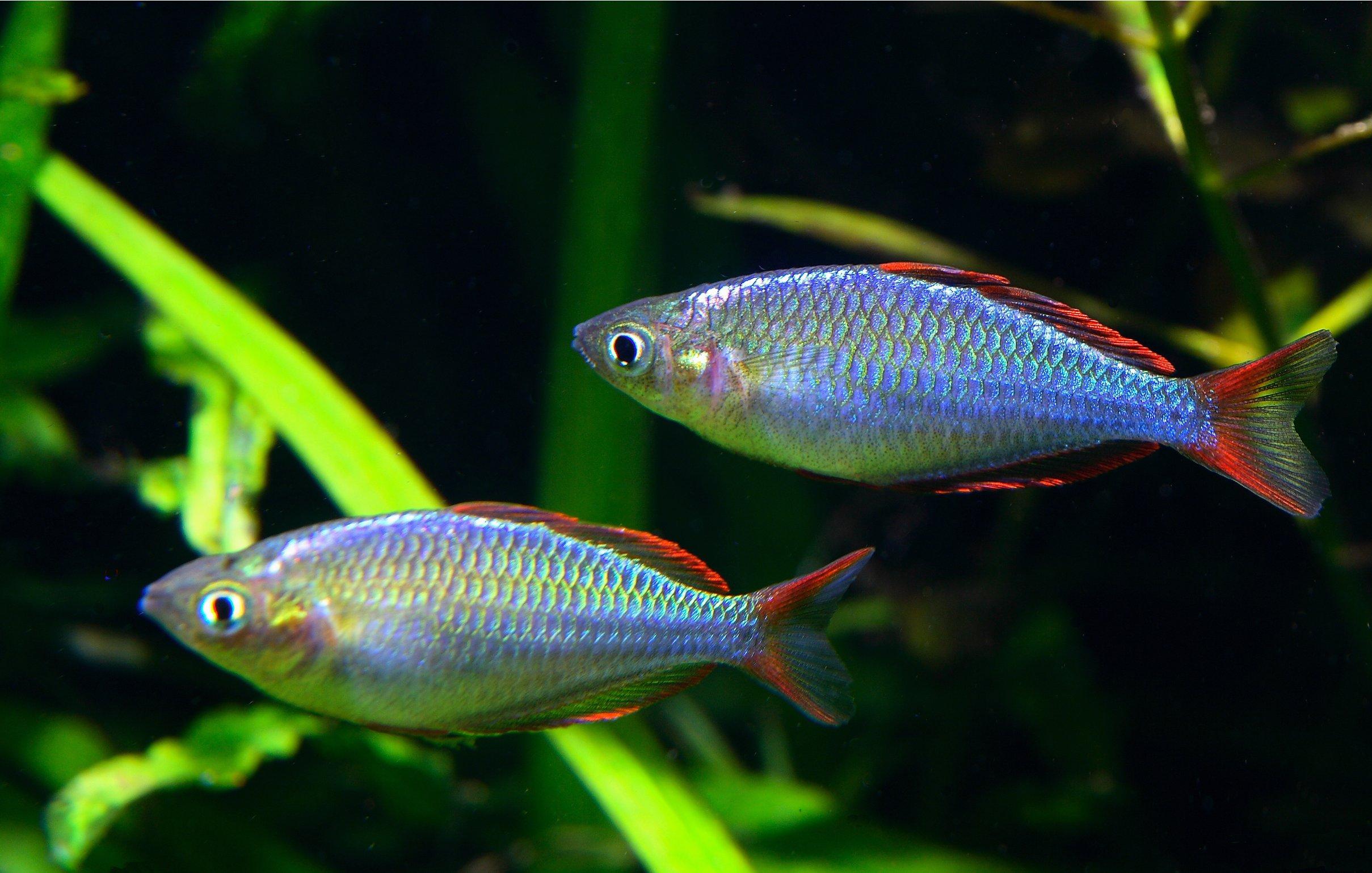 pair of male dwarf neon rainbows in a home aquarium