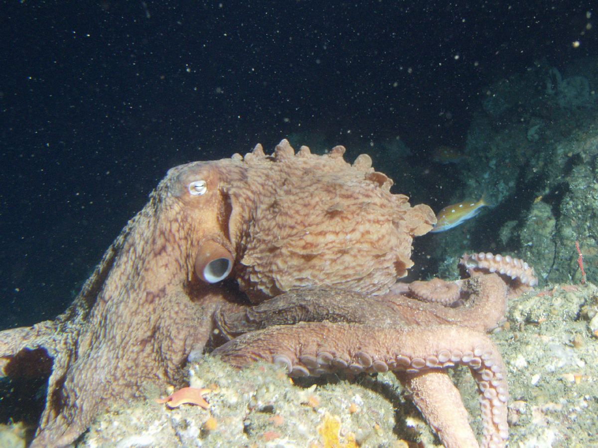 the giant pacific octopus