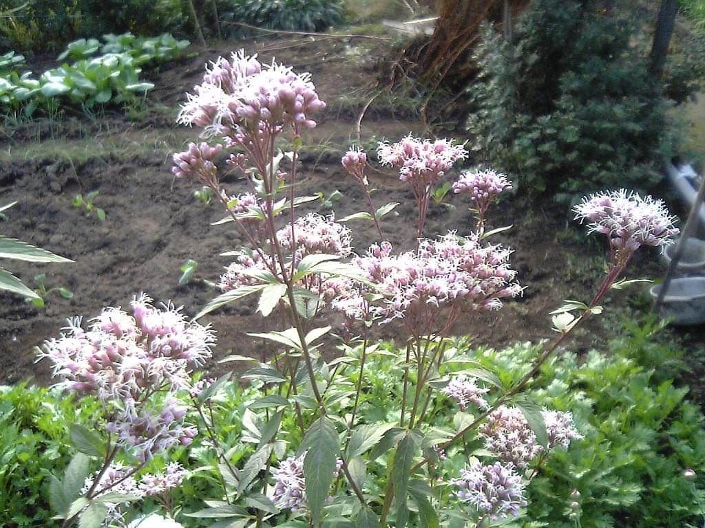 Садовый цветок с пятнистыми листьями