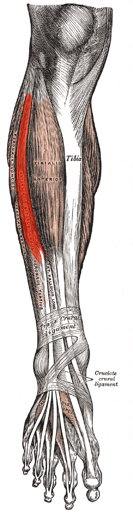 Muscles of the front of the leg Extensor Digitorum Muscle