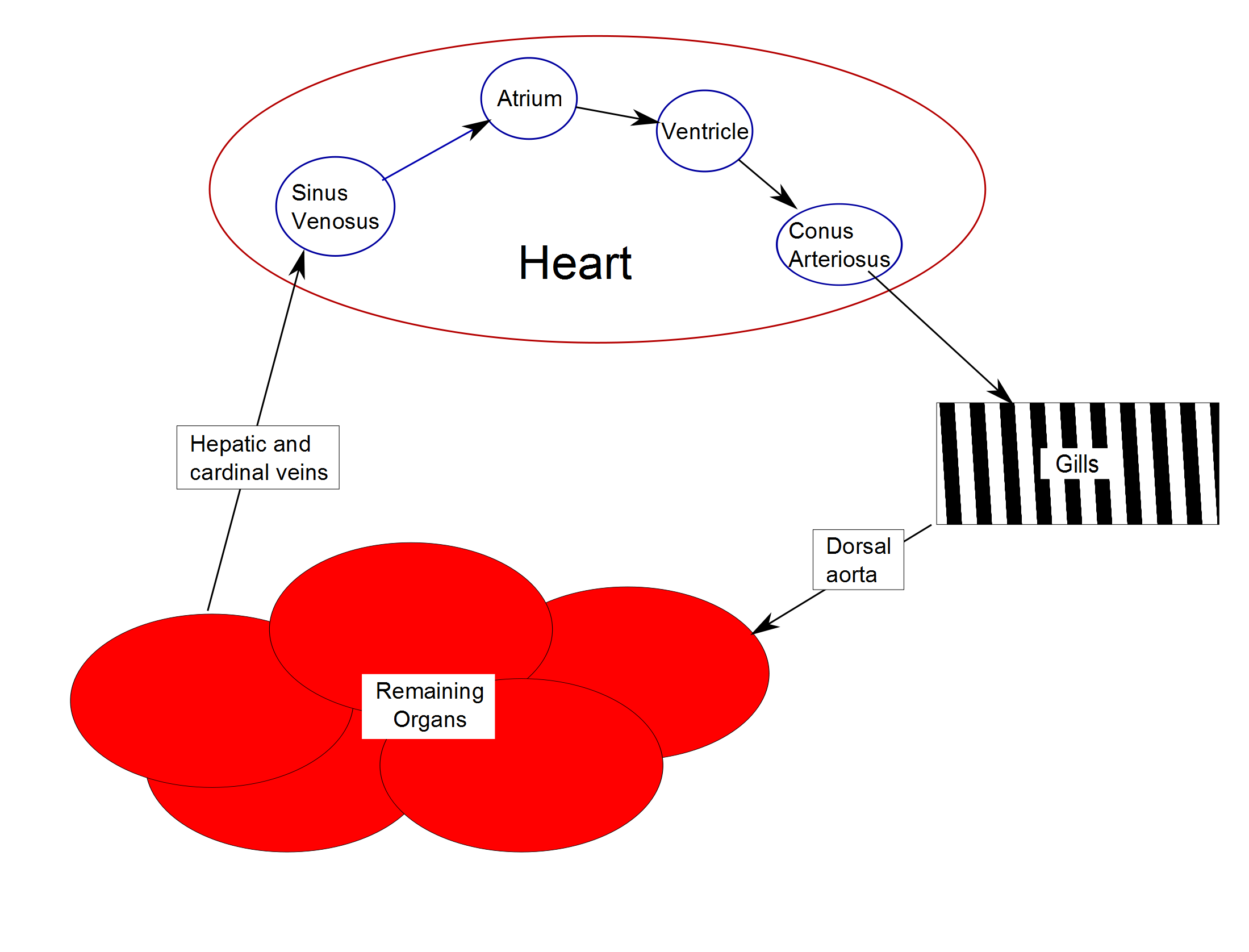 fish heart schematic png