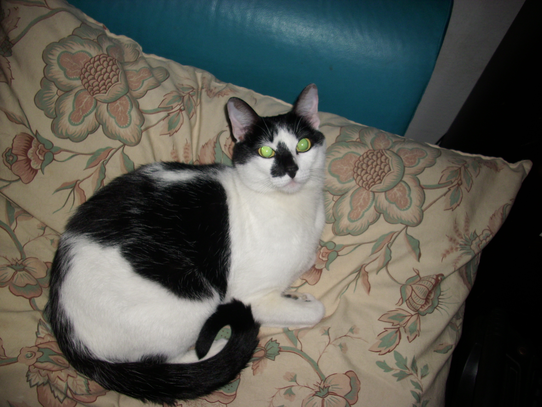 corgi and cat