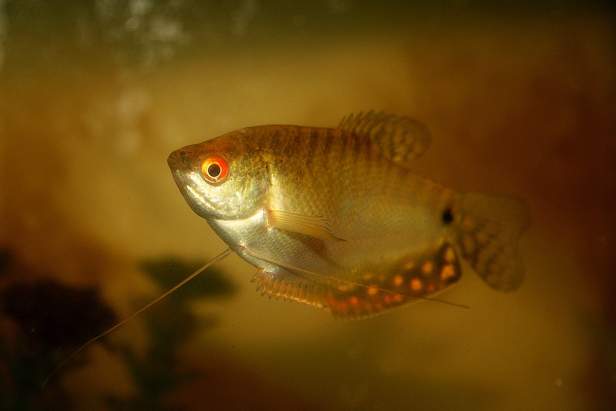 how to identify male and female giant gourami fish