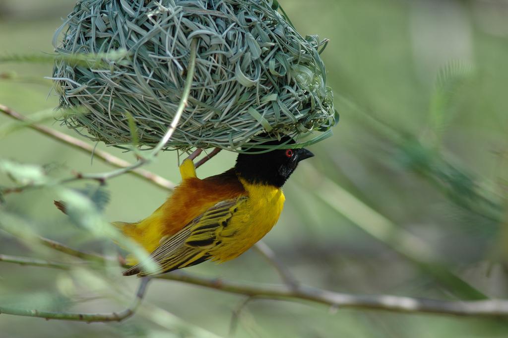 Yellow Bird Name Yellow Weaver Bird With