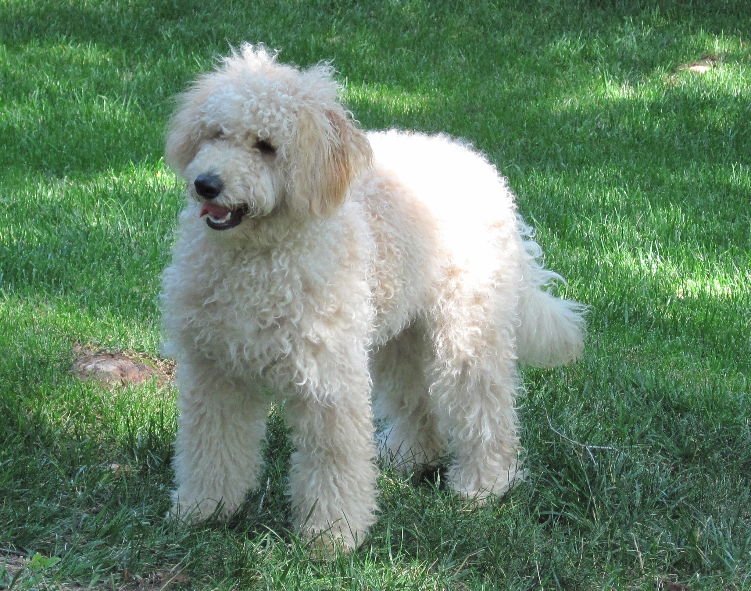 An 11-month-old female goldendoodle.