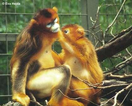 Tonkin Snub Nosed Langur. name = Snub-nosed monkeys