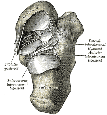 ligaments of the foot from