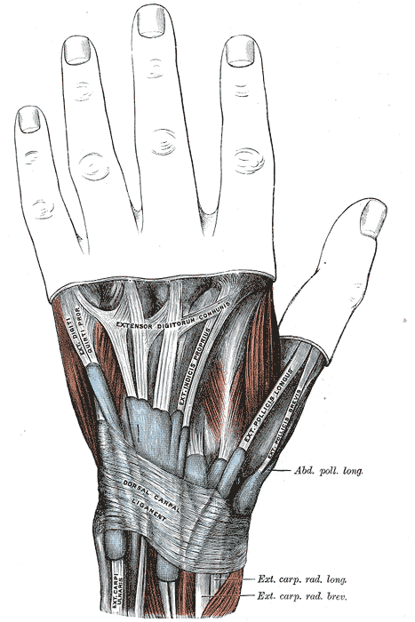 Extensor retinaculum of the hand. Infobox Anatomy Name = PAGENAME