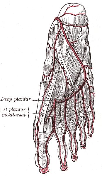 Flexor Digitorum Superficialis. F. The tendon of the flexor digitorum longus cut; f f f, its digital ends. Insertion = Tendons of Flexor digitorum longus