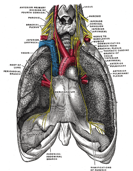 Caption = The phrenic nerve and its relations with the vagus nerve .