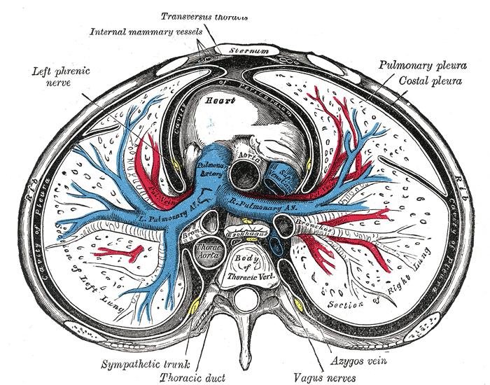 anterior mediastinum anatomy - photo #3