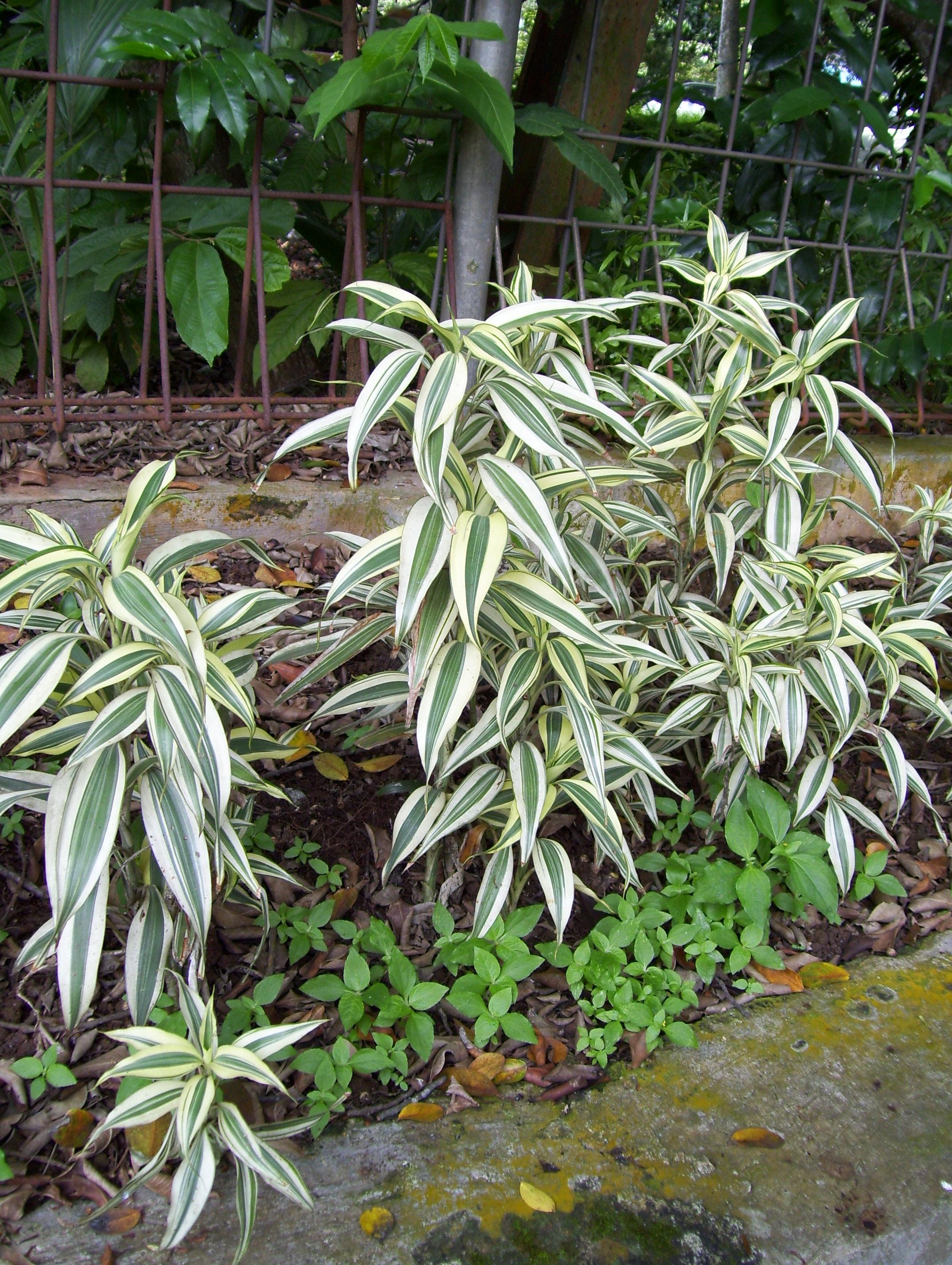Aquatic plant dracaena sanderiana aquatic plant for Plante dracaena
