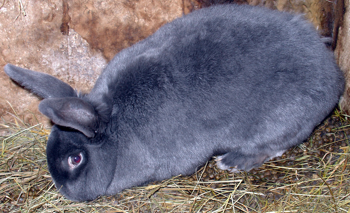 lilac silver fox rabbit
