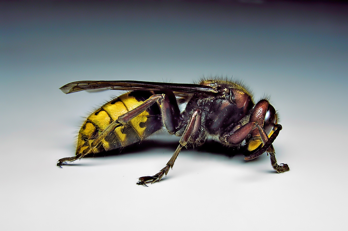 Characteristics of common wasps and bees - photo#40