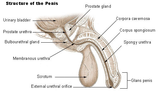 enorme penis