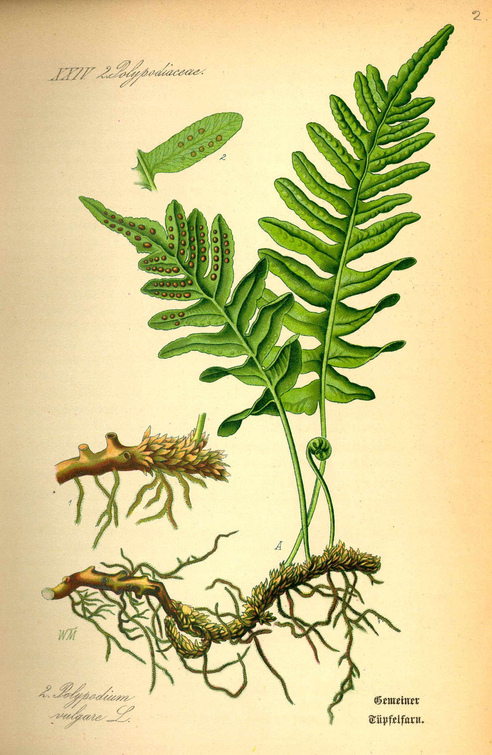 phytoecdysteroids asparagus